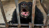 Un oso con la dentadura visiblemente afectada en uno de los zoológicos cuestionados por operar como criaderos ilegales de especies en extinción.