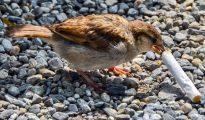 ¿Para qué utiliza este pájaro las colillas de cigarro?