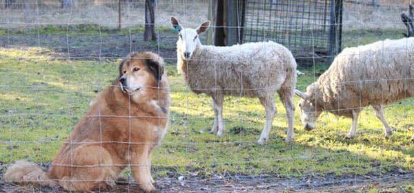 Otro de los perros con las ovejas. Los vecinos argumentan que son tan molestos que no pueden realizar actividades al aire libre (Facebook)