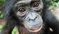 Los bonobos ayudan los extraños de forma espontánea incluso cuando no hay recompensa inmediata