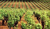 Cultivo de cava en Extremadura.