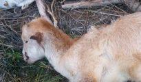 Imagen del animal mutilado por unos desconocidos. (Foto Sur)