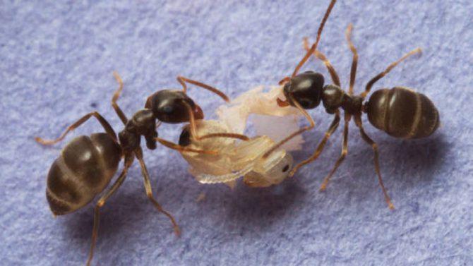 Las hormigas producen ácido fórmico que puede matar el hongo, pero necesitan entrar en el cuerpo de la pupa para que realmente funcione.