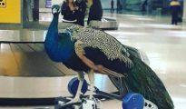 Dexter, el pavo real al que no dejaron subir a un avión - INSTAGRAM