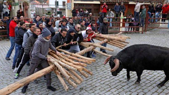 Un momento en el que el toro va a embestir al forcón que sujetan los mozos en la comarca portuguesa de Sabugal