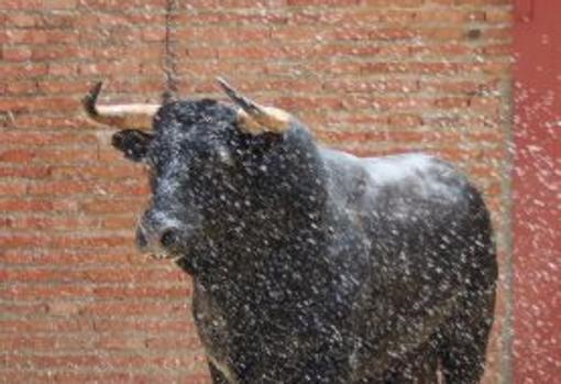 Farfonillo, toro de su vuelta en Algeciras - Lances de Futuro