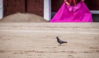 Una paloma en el ruedo de Las Ventas - Plaza 1