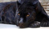 Actualmente existen solamente 64 mil ejemplares de pantera negra alrededor del mundo.
