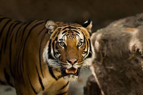 Tigre siberiano.