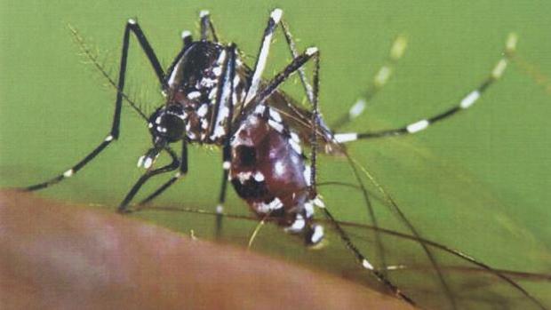 Aedes albopictus, popularmente conocido como mosquito tigre