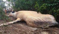 La ballena, en tierra y rodeada de manglares.Ministerio de Medio Ambiente de Brasil