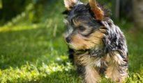 El perro del anciano era de raza, yorkshire, como el que aparece en la foto