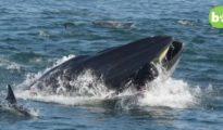 Sus compañeros grabaron desde el barco cómo la ballena engullía a Schimpf / Barcroft Animals