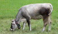 Imagen de una vaca con cencerro.