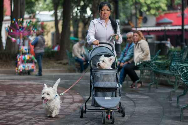 Perros West Highland Terrier, la misma raza objeto de litigio judicial.